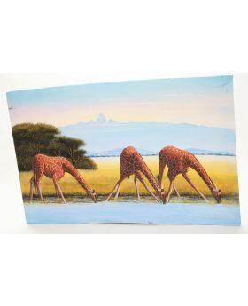 Giraffes taking a drink